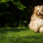 Alles über den Havaneser-Hund