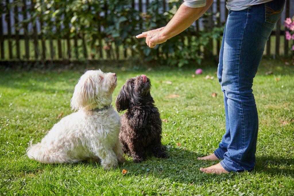 Der Havaneser sollte - wie eigentlich jeder Hund - frühzeitig und konsequent erzogen werden