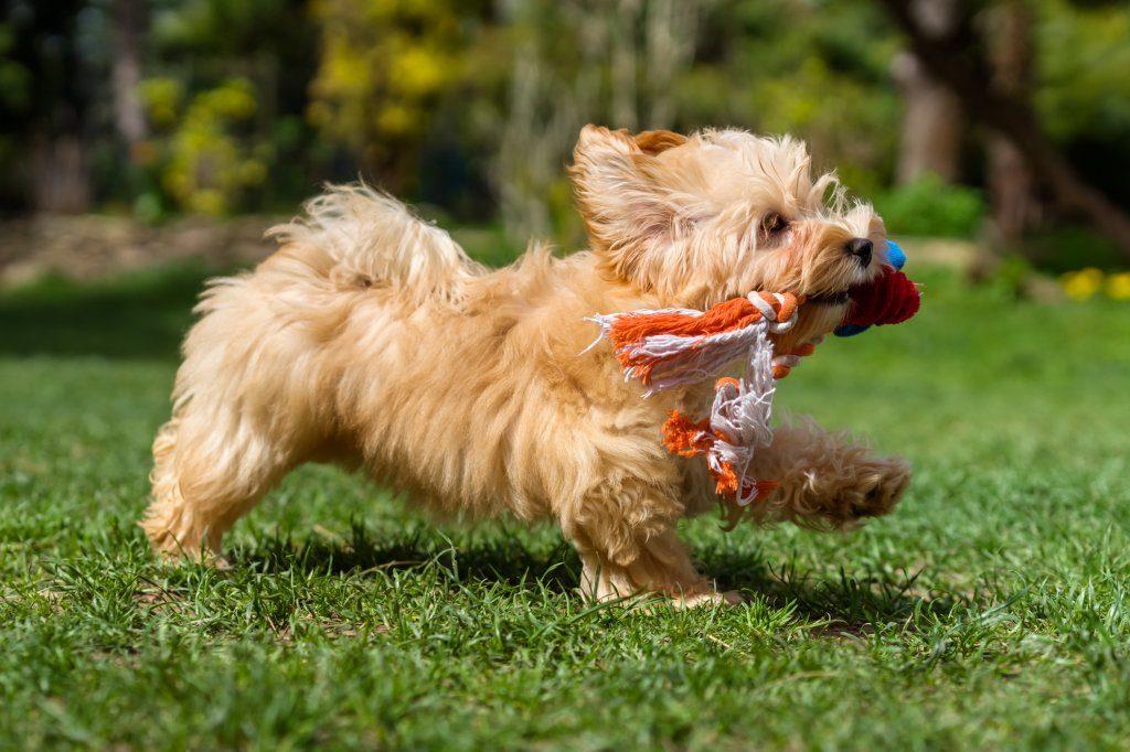Ein Havaneser-Hund springt im Spiel über eine grüne Wiese