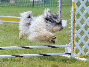 Hundesport wie Agility hält Havaneser fit.