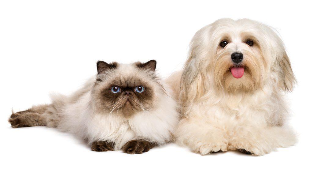 Auch das ist in der Regel kein Problem: Havenser und die meisten Katzen passen charakterlich gut zusammen - vorausgesetzt, man lässt beiden Zeit zur Eingewöhnung