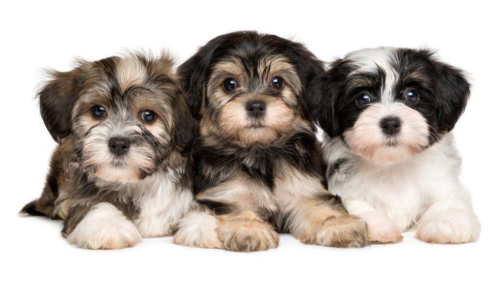 Auch wenn Havaneser noch so süß sind - bevor Sie einen solchen Hund kaufen, sollten Sie dafür sorgen, dass es dem Tier auch gut geht