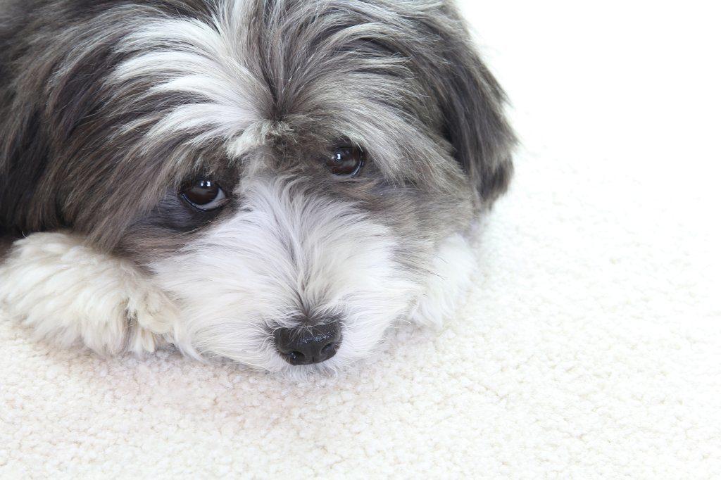 Traurig blickender Havaneser-Hund