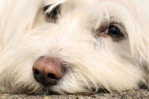 Grauer Star kann bei Hunden sehr gut behandelt werden.