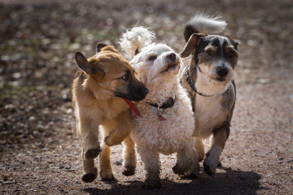 Rennende Hunde, darunter ein Havaneser