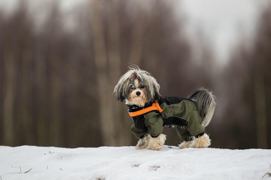 Ein Mantel kann im Winter für den Havaneser sehr nützlich sein.