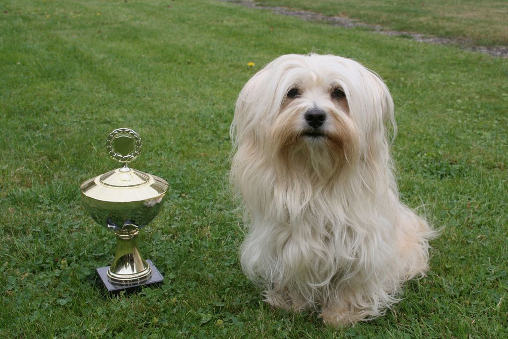 Pokale erfüllen Hundebesitzer mit Stolz. Wichtig ist aber auch, dass sich der Havaneser auf Ausstellungen wohlfühlt.