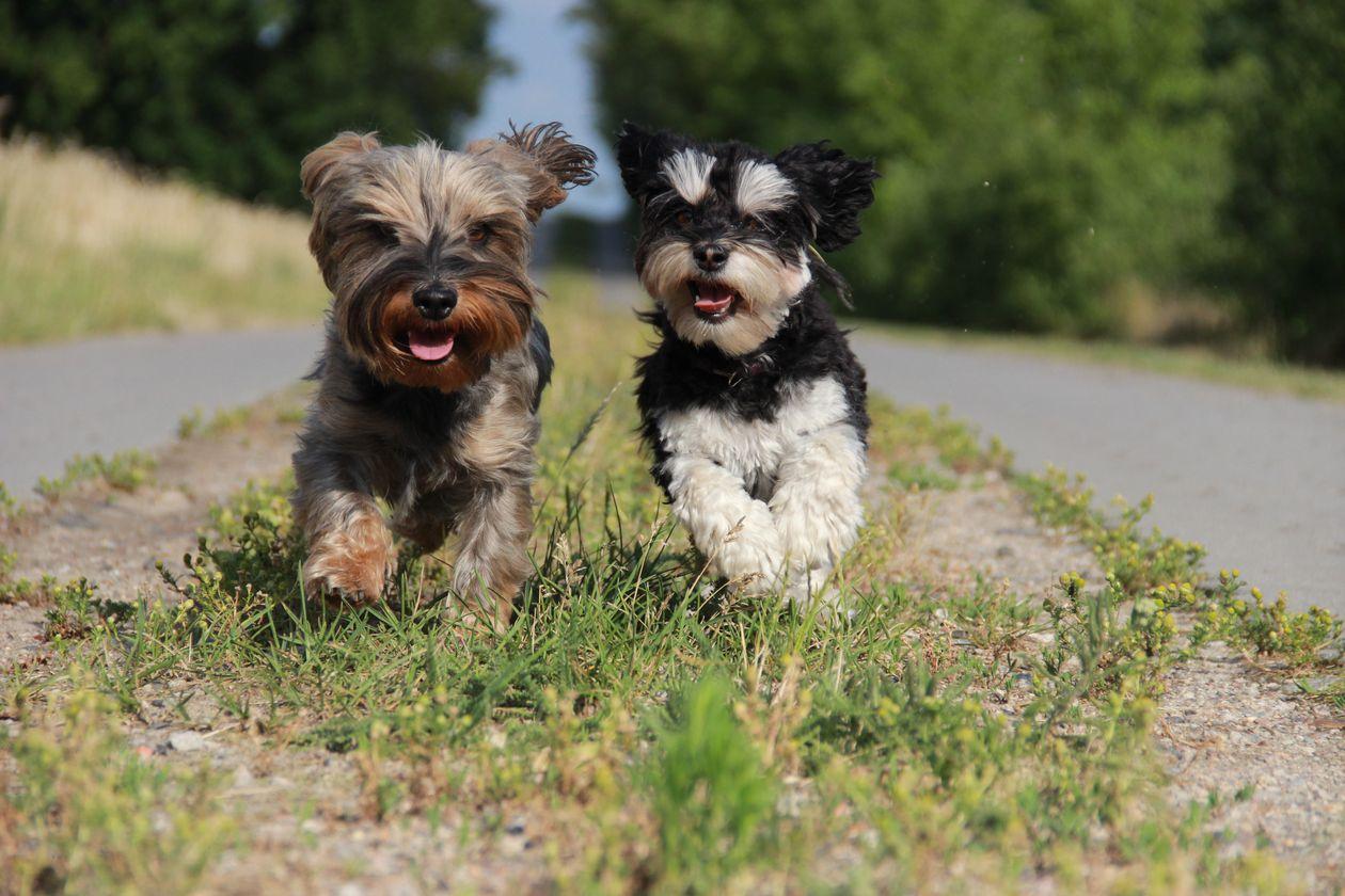 Havaneser brauchen viel Bewegung. Hundesport ist nicht unbedingt nötig, macht aber Spaß.